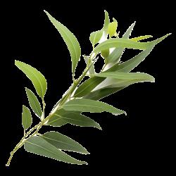Ekolibi - Eucalyptus