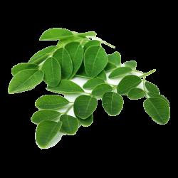 Ekolibi - Moringa