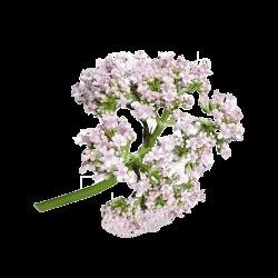 Ekolibi - Valeriaan